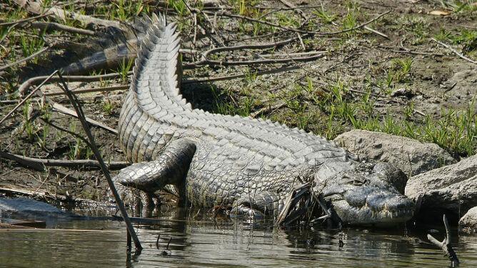 Krokodyle ludojady odnaleziono na Florydzie