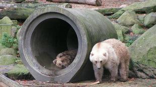 Globalne ocieplenie zmusza zwierzęta do wymiany genów. Krzyżują się niedźwiedzie brunatne i polarne
