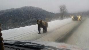 Niecodzienne spotkanie na drodze. W Bieszczadach straszą niedźwiedzie