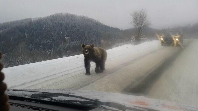 Niecodzienne spotkanie na drodze. <br />W Bieszczadach straszą niedźwiedzie